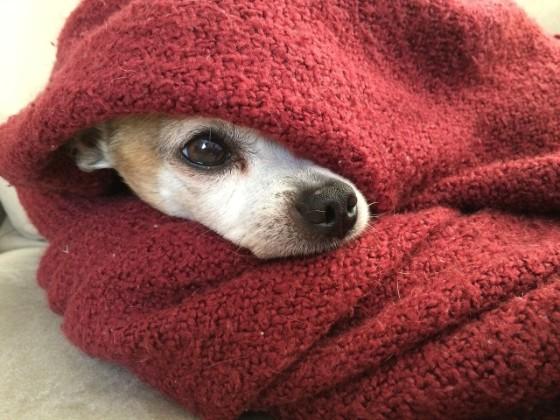 着る毛布に包まれた小犬