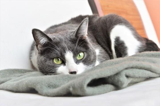 毛布の上でリラックスしている猫がこっちを見ている