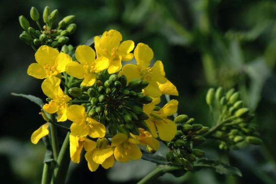 菜の花の花の部分のアップ